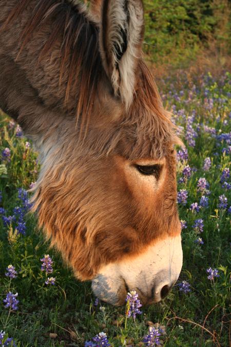 Flash the Donkey in bluebonnets