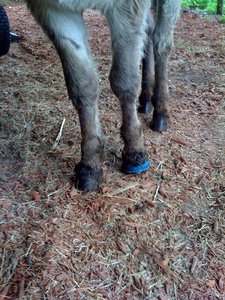 blue hoof left