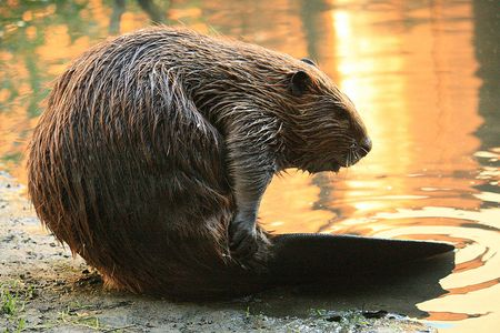800px-Beaver_Yearling_Grooming_Alhambra_Creek_2008