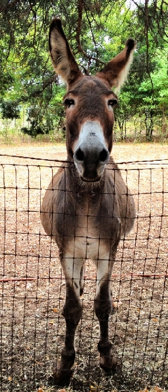 Flash, the donkey