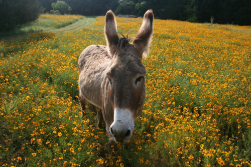 Flash, my intrepid donkey