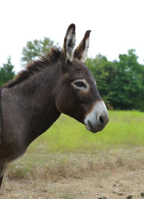 Henry the donkey