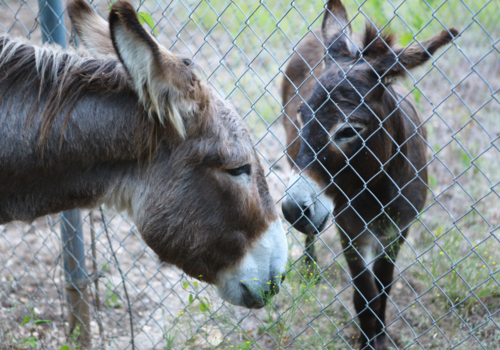 Flash the donkey, and Henry