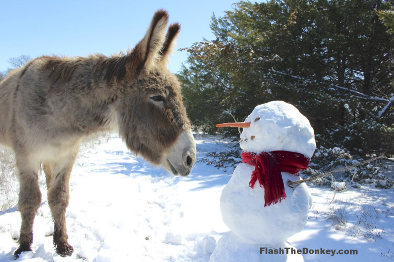 Flash the donkey snowman