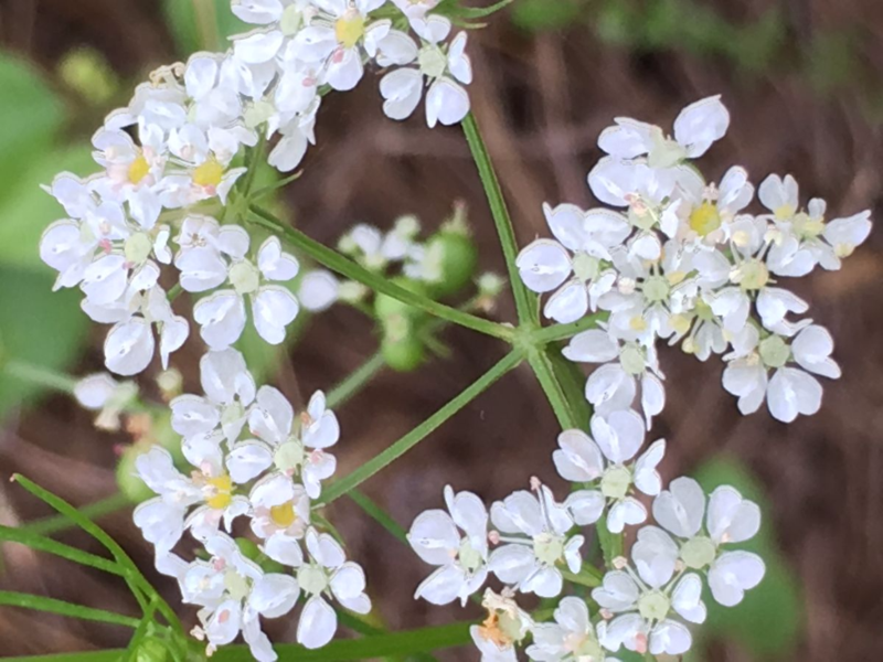 white wildflowers 1